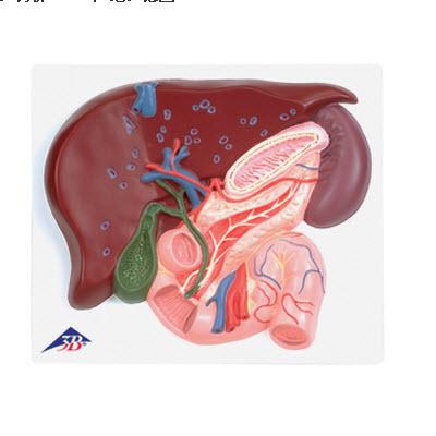 肝脏解剖结构图