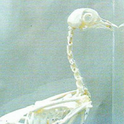 鸭动物骨骼